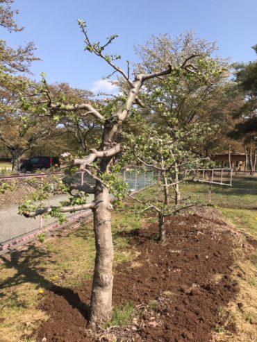 園庭のりんごの木…