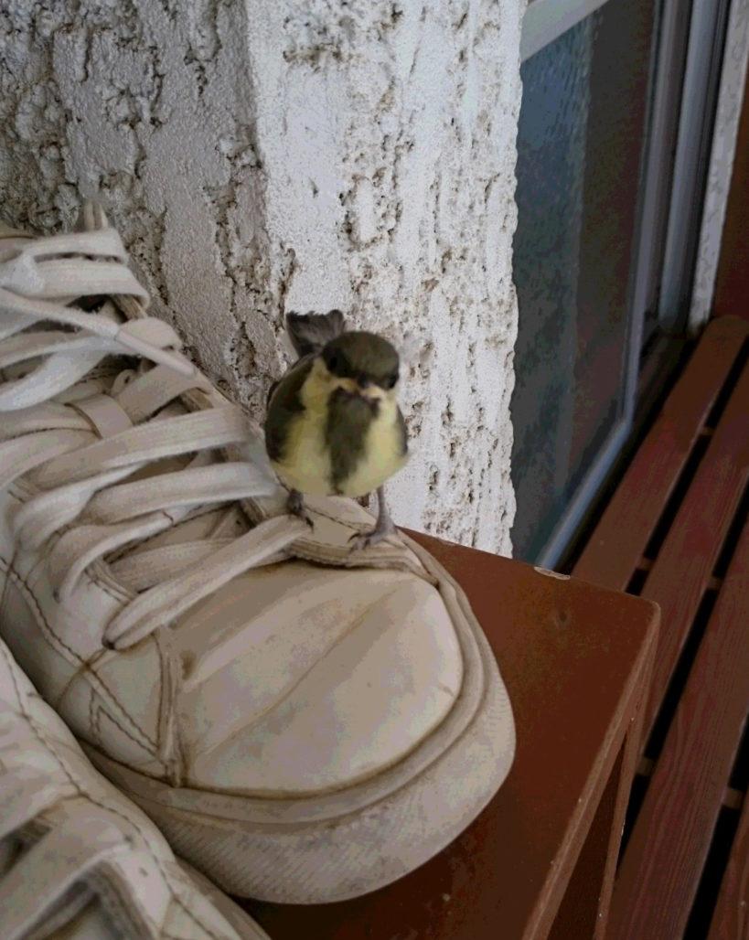 シジュウカラの巣立ち